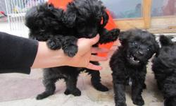 BEAUTIFUL POMERANIAN X  POODLE , THESE BABES ARE READY FOR THERE NEW HOMES . THEY ARE SOCIAL ,GREAT WITH THE CAT AND OTHER ANIMALS . THEY HAVE BEEN EXPOSED TO YOUNG  CHILDREN AND ARE NOT SCARED OFF THEM . IF YOU ARE READY FOR A PUPPY PLEASE CALL US . THEY