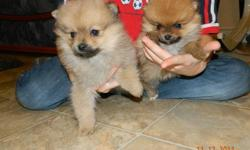 2 Males and 2 Females Pomaranien for Sale. They where born on October 15 Please contact us at number 204-326-7005