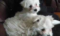 We have 2 puppies left for sale out of a litter of 6.  A white female and a white male that should grow to be around 13 pounds.  They are very loveable, and kennel trained.  They're over 8 weeks old and ready to be rehomed and to have their shots. Call