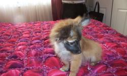 3 male Pomeranian / Papillon  puppies 1 all brown with a dark mask 2 brown and white parti-mixes   They have been well socialized, freindly, playful little fellows who need their own homes. I have both the mother and father they are my personal pets. They