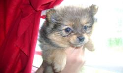 Pomeranian Puppies for rehoming 9 weeks old 1 male 1 female Born September 6th, 2011 First Shots and Deworming Ready for new home Rehoming fee $700 for male and $800 for Text or Call to arrange for viewing. 778 867 7802 Please call or text the number do