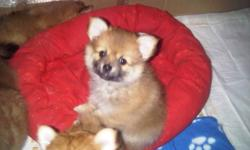 Leaving soon for long vacation .We looking for a new home . I have Pomeranian puppies for very good price , Teddy Bear face Female ($450) and male for ($550) , he has shots , deworming and Vet papers. Very healthy .POTTY TRAINED. Very good with kids ,