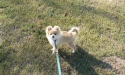 We have a CKC Registered Orange Parti Female Pomeranian that is looking for her forever home. She will be about 5 lbs full grown and is in her puppy monkies at this time. She is very social and outgoing and is mostly paper trained as puppies are at that
