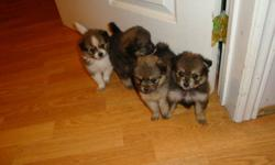 Baby poms born on November 10/11.  Ready to go at 8 weeks anytime after  January 5/12.   Both are flat haired poms.  Mom is midnight black and Dad is blonde with black highlights (both are on site).  Price includes first vet check and first shots.  These