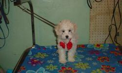Poodle male pup born Oct 29/11 vet checked first needle light cream  colour parents on site very happy boy plus 2 Maltese/ Poodle mix puppies 1 male , and 1 female $275 each first needle the mother is a Maltese Poodle mix weighs about 7 lbs father is a
