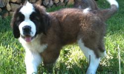 Bred to be gentle, loving family dogs and companions, these puppies are from champion show bloodlines.  Their sire has earned his Canine Good Neighbor's title, and spent a winter as volunteer therapy dog in the Beaverlodge Hospital and Hythe Continuing