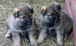 Akhbash / German Shepherd cross PUPPIES.  Both parents are excellent working dogs.  Father (akhbash) protects 200+ sheep and goats on pasture.  Mother (shepherd) guards farmyard and surrounding 20 acres, including free-range turkeys and chickens.  She is
