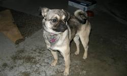 7 month old female Pug for sale. We love our dog Ruby but for health reasons need to find her a new home. She is great with kids.