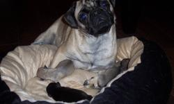 We have 5 adorable pug pups left out of a litter of 7. We have 1 fawn female left, 1 fawn male left, and 3 black males left. All of our puppies come vet checked, de-wormed, and with their first round of shots. If you are interested in one of our puppies