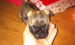 1 male fawn pug puppy ready for Christmas he love kids has he have been around my 3 year old since he was born has his first shots and deworming This ad was posted with the Kijiji Classifieds app.