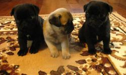 Whisperwilow Pugs   Quality Speaks For Itself!!!   ONE BLACK MALE AVAILABLE LITTERMATES ARE SOLD   We have a gorgeous litter of Pug babies available. Our babies are vet inspected, 1st vaccinations, de-wormed, micro-chipped and CKC registered. We also put