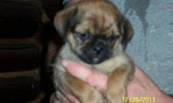 Pug shorkie cross puppies. They have had their first vaccinations, and a number of dewormings. Raised in the house with other dogs and cats. These are very happy, outgoing puppies that are ready for their new homes. Males and females available. Their dad