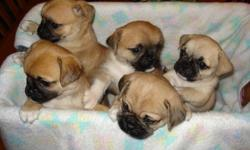 Gorgeous, family raised Pug cross Chihuahua puppies.  Have been raised in our home, under foot, with kids and other dogs.  Are very social, outgoing and friendly.  Have been spoiled since birth!  Dad is PB Pug & Mom is Chihuahua X.  Litter of 5... 2 -