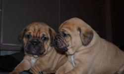 Beautiful ist generation  puggle puppies for sale. Mom is  black Pug and Father is a  colarful beagle....  just adorable babies ,  with great personality, parents ,,parents are great dogs,,,, puppies Hand raised handled lots , love attention and Children.