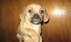 """These are the true Puggle Puppies. Puggles are lovable, very sweet, social and good with people of all ages and other pets. 1st generation. Mom is a Pure small Beagle at only 10"""" & 15 lbs. and dad is a Pure Pug and is 11"""" & 16 lbs. Born Oct 1st & now"""
