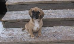 """Only 1 female puppy left available. These are the true Puggle Puppies. 1st generation. Puggles are lovable, very sweet, social and good with people of all ages and other pets. Mom is a Pure small Beagle at only 10"""" & 15 lbs. and dad is a Pure Pug and is"""
