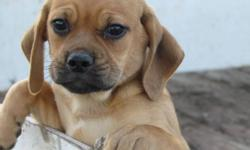 Beautiful fun loving Puggle puppies now ready for their new home. Loyal, sweet-tempered and highly favored companion.Girls only available, puppies come with a vet check dewormed and 1st shots. They are healthy and active puppies with lots of love. Call or