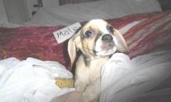Loving Puggle pups looking forever families 2 sweet males--Beloved Hybrid brings you the best of both worlds make a great family dog or hunting buddy Family raised +Great with Kids +Vet checked viewing by appointment Huggle a puggle Call Today