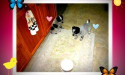 6 puppies for sale 4 girls and 2 boys mother is pure miniature american eskimo father is pure blue heeler   These pups make good outside or inside dogs. Pups r raised outside in garage with great big back yard and heated large doghouse in garage. They