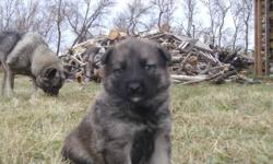 We have  2 male  puppies for sale.  Brown and with grey spots. Mother  Norvegian elkhound and father  German Sheperd.  Parents are well be have and good mannered. Adapted to life out side home.