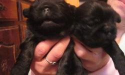 pug/shitzu puppies 4 sale ,4 more info please contact me by e-mail of phone
