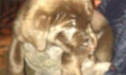 These are some nice little puppies. Their mom is a purebred chocolate lab, the dad is a German shepherd. All of the puppies look like labs. Two of them are brown like mom, the other ten are black. Very friendly pups, ready to go. This ad was posted with