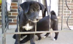 Border Collie / Lab Cross Puppies  -   (Parents on Site) First Shots, de-wormed, vet-checked.  To responsible caring home, puppy experience should be a must.  Gentle temperament, sturdy, strong, healthy.  $390.  Phone calls only, serious inquiries