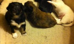 For sale 3 cute puppies 5 weeks old mixed Lasha Apso and miniature beagle. 2 female and 1 male. Located on the Burin Peninsula This ad was posted with the Kijiji Classifieds app.