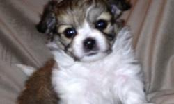 The sweetest dogs you will ever meet. Non-shedding, hypo-allergenic, DNA profiled parents, pure bred, registered Mi-Ki pups. These are sturdy toy dogs that will love you, cuddle with you and be your companion as much as you allow. They grow to be about 5