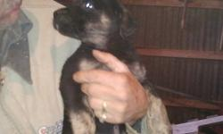 Hello we are selling our puppies we have two litters, The puppies are from two mom's. The mothers are extremely good dogs, very loyal and listen to your very well. The father of the pups is a bigger dog. He is also a very good, he is one of those dogs
