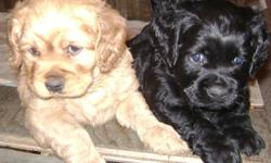 ONLY ONE LEFT Cocker spaniel Poodle cross puppies 6 weeks old  ready for a loving home. One black male. Has had his first puppy shots and is ready to go. This brave boy is all alone as his littermates have found loving homes. He comes with a halfbag of