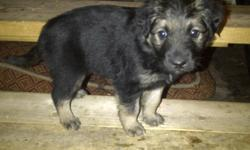 7 1/2 week old puppies. Only 2 left, and both are males.   Have been vet checked (when smaller) and have now been dewormed.   Happy, healthy, rolly, puppies looking for their forever homes.     Raised indoors with cats and kids.     Black lab mother and