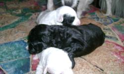 Have 3 shitsu-pom.american eskimos 1 female 2 males.  Each dog is $400.00 Dogs will be ready by mid January. If interested and want more info please call Helena at 204-237-8219.Between 9:00 a.m. & 7:00 p.m. Mother and father are both very affectionate and