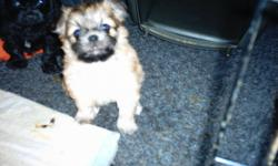 2 male 1black 1brown chorkies 1/2 chawawa 1/2 yorkie {family raised}non shedding , hypo-alergenic,these little darlings are ready to go dec.24th will keep  till the new year if preifured.comes paper trained and puppy pack.we are lap dogs we need lots of