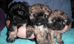 for sale shitzupoo/pekingnese  born 14th of sept.2011 asking $350 each    pee pad trained eating on there own  3 females  4 males