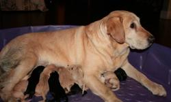Purebred Labrador Retriever Puppies Born on Dec 5/2011 Registered breeder for 10 years. Well socialized, very intelligent ? easily trained, athletic dogs. They love to please.  Excellent temperament, great with children.    Great lifetime companion.