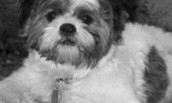 I am a very cute and lovable male shih ztu, 2 years old and need a home my mum is having surgery and she can not take care of me any longer. I play very well with children and can do some pretty cool tricks ! i have never bit any one, i have all my shots