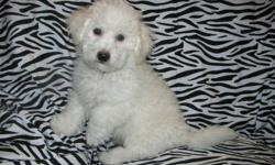 We have two male pups left from a litter of eight, who are ready to go to their new homes. The Bichon Frise are hypo-allergenic dogs so can comfortably live with families who have allergies or asthma. My Dam and Sire are both pure white, are registered