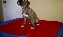 We have 4 female reverse brindle Boxer puppies left out of 9! they all have 2nd. shots and dewormed and tails docked. they are full of energy,and love to play!! Make someone happy for Christmas and have one of our beautifl puppies at home waiting for them