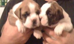 beautiful pure bred boxer pups, parents on site, asking $500 ready to go in 3 weeks. please call 1-705-516-0707 thanks earl