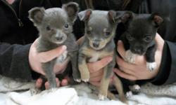 I have 3 male chihuahua puppies #1 tricolour silver fawn and white (edit: he is sold) *****#2 black with white on feet and chest***** ( available ) #3 silver long hair with white on feet at chest (edit: he is sold) ( he is the smallest) They are all