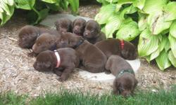 beautiful purebred chocolate lab puppies family raised puppies will come vet checked with their first shots 6 males 3 females $100 deposit required to reserve your choice