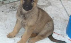 300.oo each, 2 females, sable color, like their mom. The dad is black & tan. We own both parents and they are good family dogs, intellegent and friendly, yet they will protect their home & people.