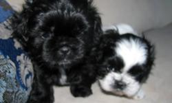 Pure bred Shih-Tzu one male (black) one female (black & white). First shot, dewormed & Vet checked.  Ready to go in two to three weeks great temperments.
