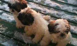 2 tricolored pure bred Shitzu puppies for sale! 2 males left for adoption. Puppies have had their first immunizations. They are working on puppy pad training but may require some extra encouragement in their new surroundings. They played outside in the
