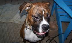 It is with a heavy heart that I must sell my Pure Breed Boxer due to my worsening illness and can no longer cope with a dog.     He is Male and comes with papers, Medical Records, is neutered and has had 8 dog obeddience lessons so far.  He is a gentle