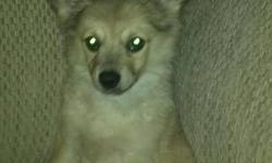 Gorgeous male pomeranian puppy that needs a forever home. He is super cuddly and loves to sit with you! He has great unquie colours for a pomperanian, and looks like a little wolf. He has been vet check and has had his first round of shoots.