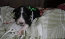 Pure shetland sheepdog puppies for sale. SHELTIES. Pink Bow-Tri Color Female Green Bow-Tri Color Male Yellow Bow-Merle Female $100 deposit will hold your puppy.  They will have 1st needle, wormed.