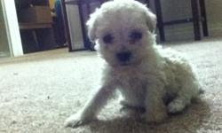 we have 2 adorable tiny toy poodle puppies for sale,a girl $1200,a boy $1000 the mom is only 4 lbs and dad 4and half lbs,the girl is cream,and the male pup is apricot,we can take a deposit anytime but will have them ready after they are 8wks,we did not