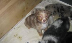 I have five purebread pups for sale four males and one female they have been vet checked, dewormed and have there first shots. Three red merles and two red tris very nicely marked friendly with children already started paper training them.Good family dogs